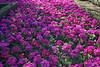 CRay-Flowers-0020