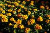 CRay-Flowers-0001
