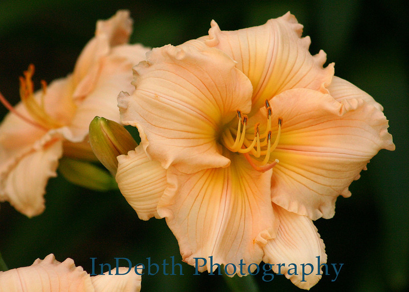 1416 - Day Lily Flower