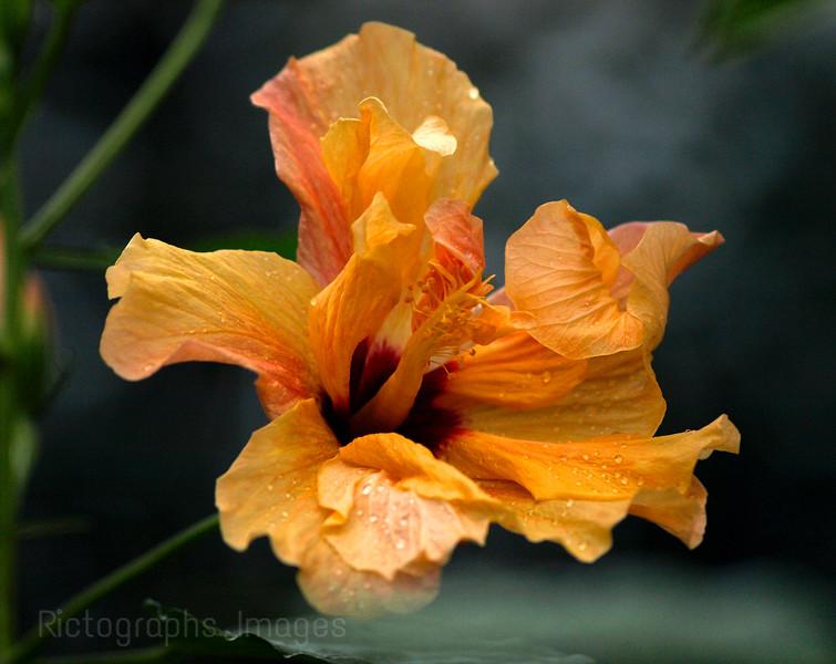 Orange, Yellow Hibiscus