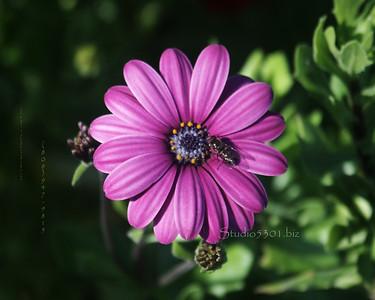 Alaska flower and bee big
