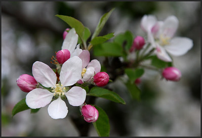 F-H-0233-00 Heritage Apple Blossom