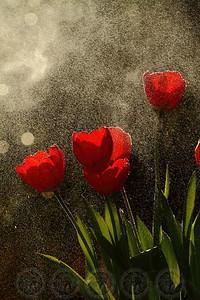 Misty Tulips - Alpine, Ca
