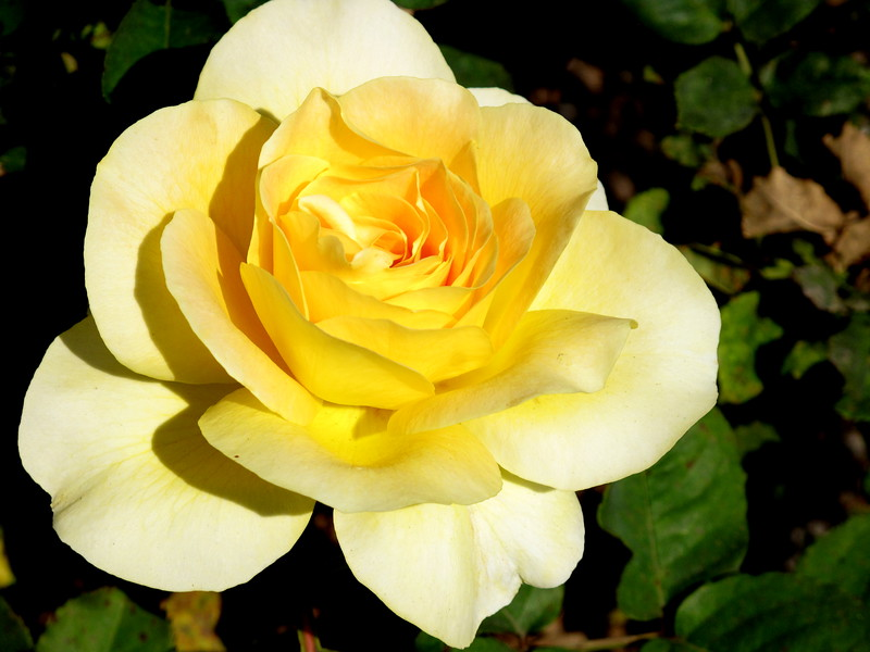 Beautiful yellow rose of Laguna beach glowing on a warm spring day. May 2011