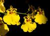 Ocidium Orchid