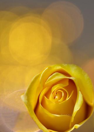 Rose 0255 on 2227 yellow bokeh boket PL