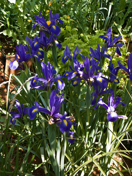 Blue Iris Patch