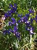 Blue Iris Patch