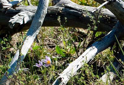 Pasque Flower in Old Log