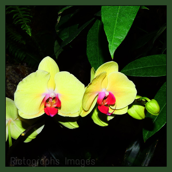 Yellow Orchids, 2020