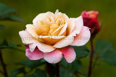 064428 Rose