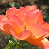 Rose- Livin' Easy; Class- Floribunda (Modern clustered flower); synonym- Fellowship; England- 1992
