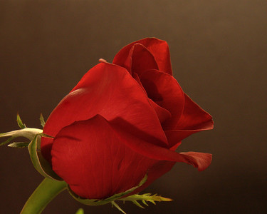 The beauty of a single red rose