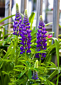 Purple Lupine - Canon Digital Rebel XT