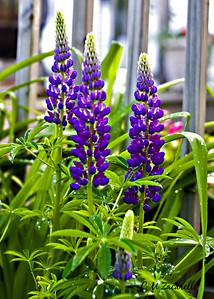 Purple Lupine - Canon Digital Rebel XT