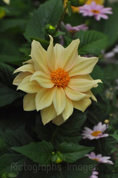 Daliah, Garden Cultivar