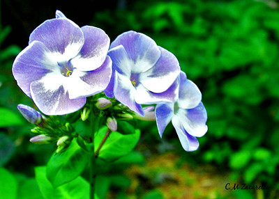 Garden Phlox - Wallingford, CT