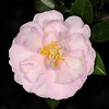 Camellia sasanqua 'Jean May'<br /> Eryldene Historic House and Garden. Sydney Australia.