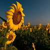 Sunflowers in a field in Georgia at sunrise.