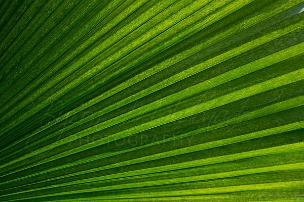 Copernicia fallaensis Palm-001