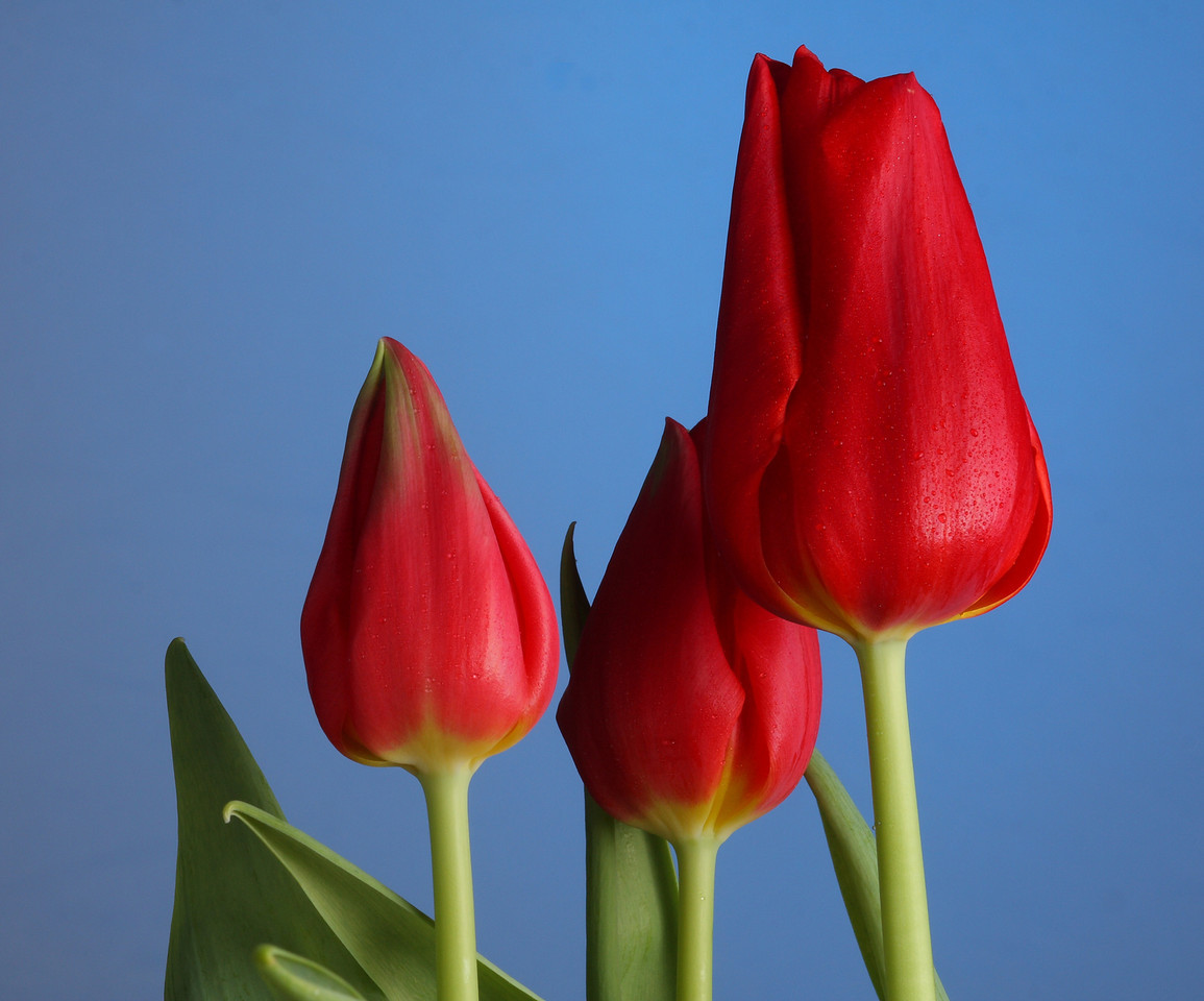 IMG4_36479 Tulip flowers DPPtrm