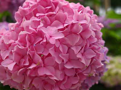 Pink Hydrangea  Order Code: B34