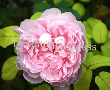 Title: Grandma Rose Just a soft pink, old fashioned rose