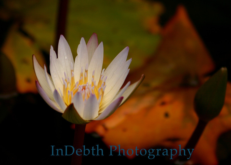 4566 - Water Lily Flower