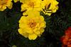 20060904-132945_30D_Flowers_0113