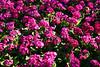 CRay-Flowers-0023