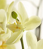 Yellow Moon orchid with green bud