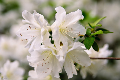 White Azaleas May 2010