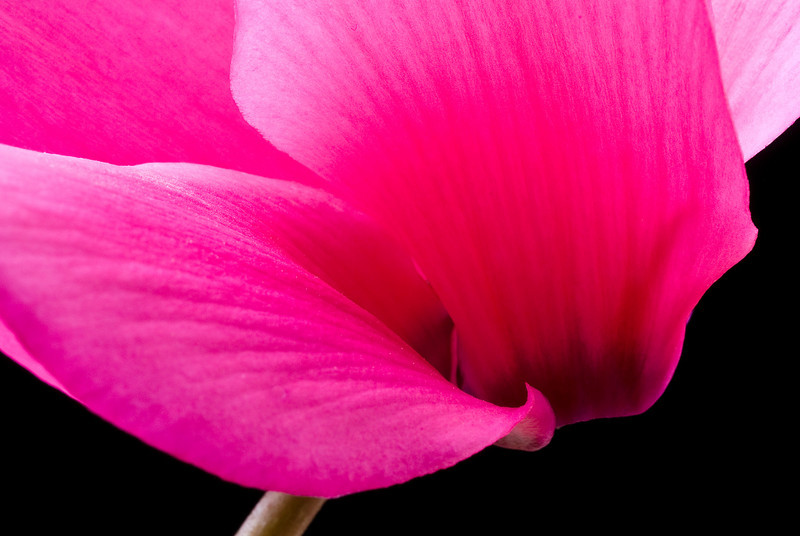 Extreme Closeup of a  Pink Cyclamen