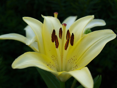 White/Yellow Lily