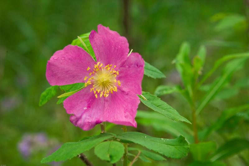 Alaskan wild Prickly Rose