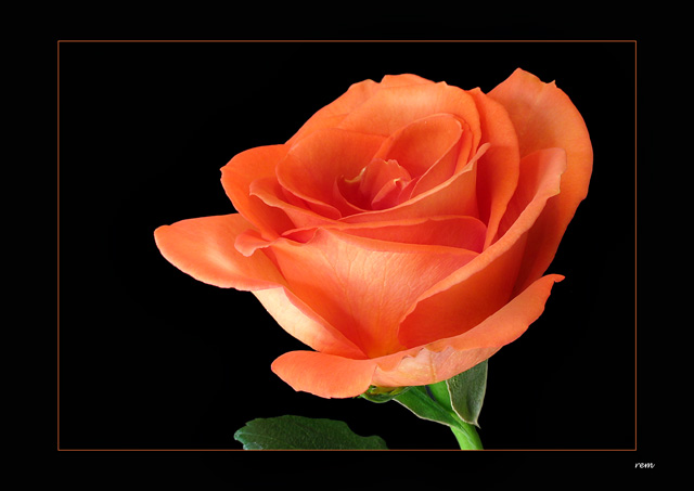 Rose ltbrgtIMG_2923w (30277034)