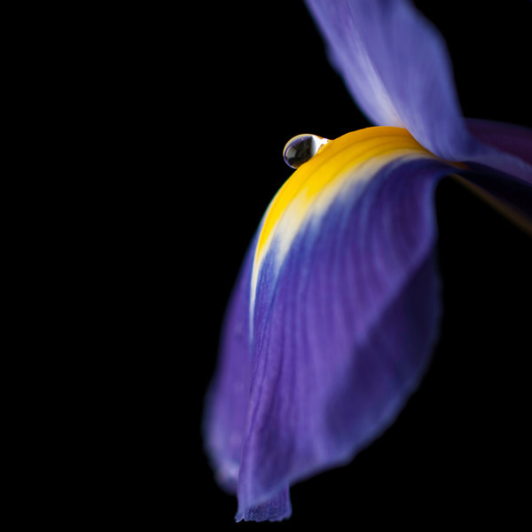 "<font color=""#e9efb7"">Purple Iris with Water Drop"