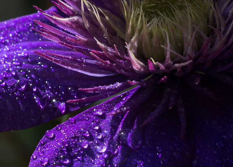 Purple Rain- clematis blossom
