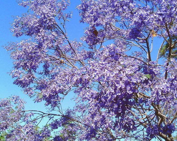 Jacaranda blossoms
