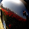 Gun metal reflections.<br /> This 1950 Chevy pickup truck reflects the vivid red tulips on an amazing Oregon spring day.