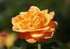 4119 - Rose Flower