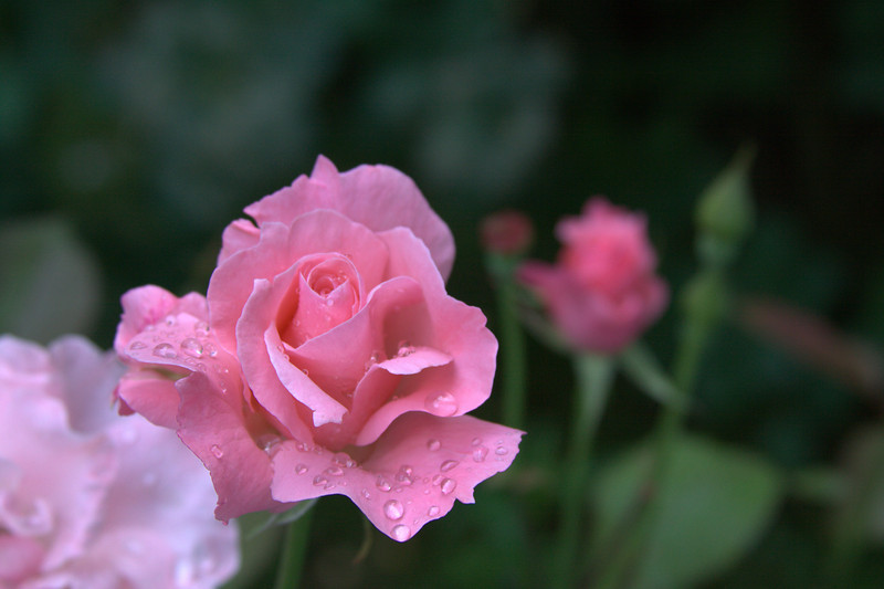 Flowers after the rain 001