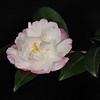 Camellia sasanqua 'Pure Silk'<br /> Sydney, Australia.