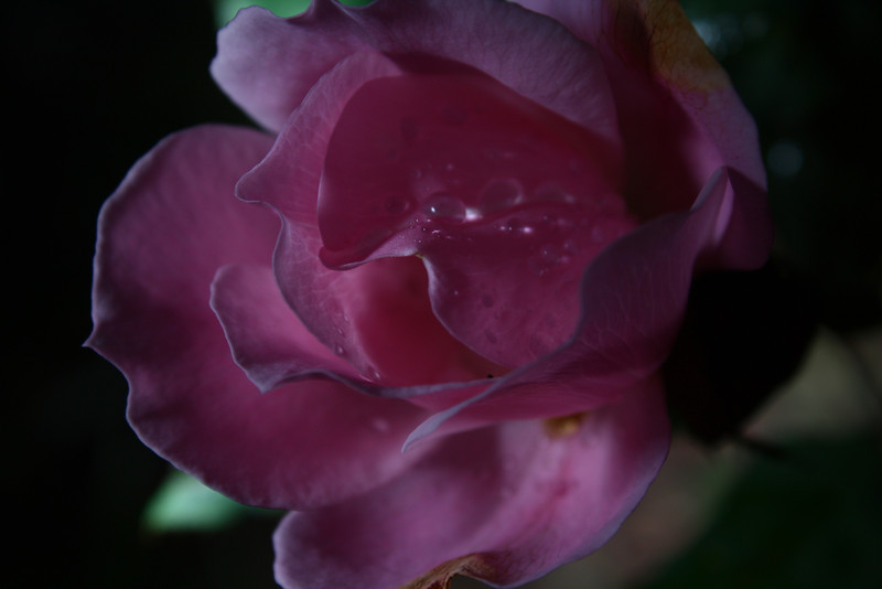 I took this after a rainstorm with my flash off camera.  I like the darker mood, the water drops, and the textures in the petals.