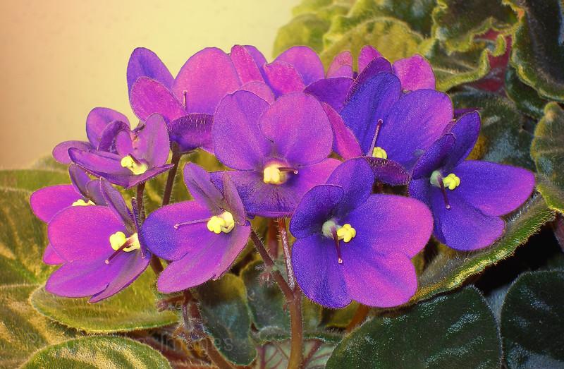 Purple African Violets