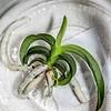 Vanda Adisak Orchid