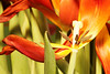 Older tulip blossom macro shots some with gold reflected light