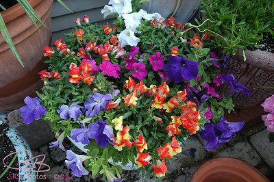 Snapdragons and petunias 2007