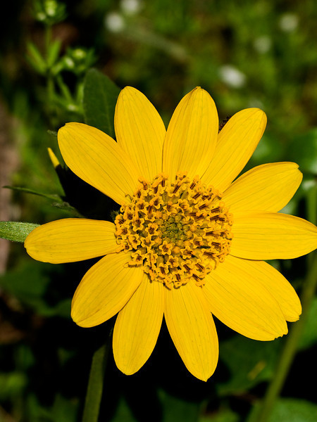Wild Yellow Flower