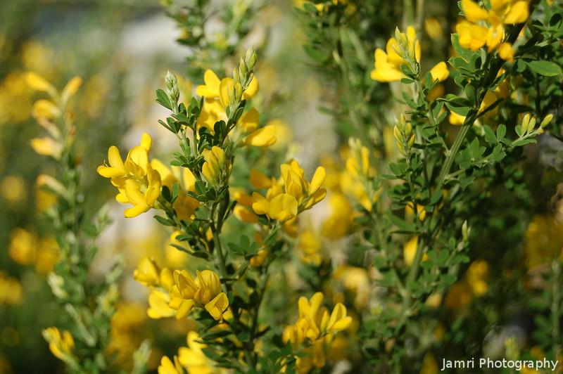 Yellow Lemon Scents